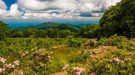 シェナンドー国立公園の絶景を飾るアメリカシャクナゲ