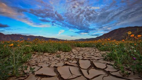 カリフォルニア州南部のアンザボレゴ砂漠州立公園で、日の出に咲くワイルドフラワー