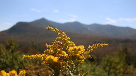 グリーン山脈国立森林公園に咲くアキノキリンソウ