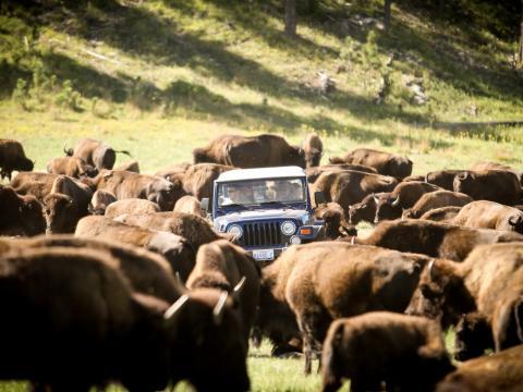 毎年行われる駆り集めでは、1,300 頭のバイソンの群れをカスター州立公園に移動させます