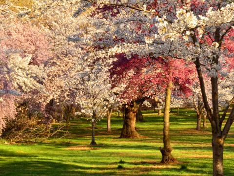 ブランチブルック公園で開かれる満開の桜祭り