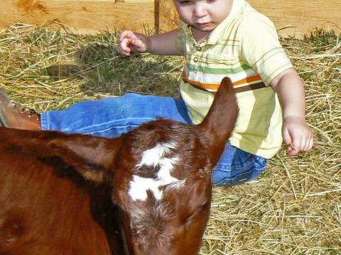 アメリカン・ウエスト・ヘリテイジ・センターのベイビー・アニマル・デイズで仔牛にあいさつをする小さな男の子
