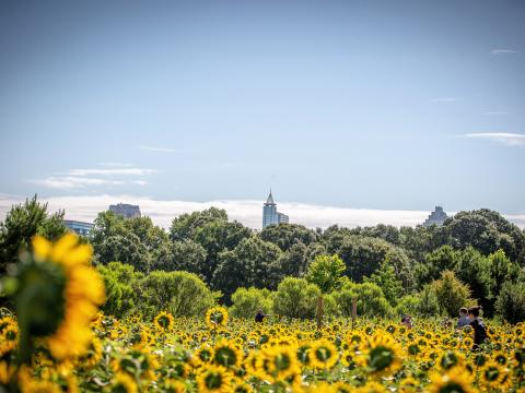 ノースカロライナ州ローリーにあるドロシア・ディックス・パークに咲き誇るヒマワリ
