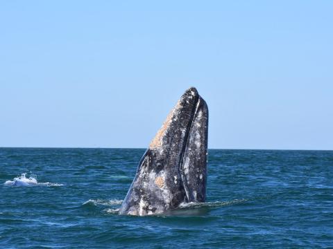 カリフォルニア州オックスナードの沖で見られるクジラ